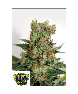 RIPPER SEEDS - FUEL OG - 1 SEME FEM