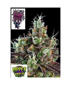 RIPPER SEEDS - SOUR RIPPER - 1 SEME FEM