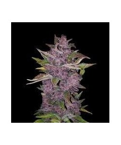 White Label - Redux Series - Purple Bud Automatic - 5 Semi