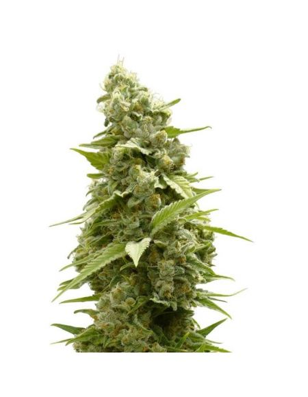 White Label - Usa Strains - Girl Scout Cookies Femminizzata - 1 Seme