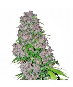 White Label - Purple Bud Femminizzata - 3 Semi