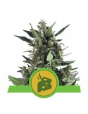 Royal Queen Seeds - Blue Cheese Automatic - 5 Semi