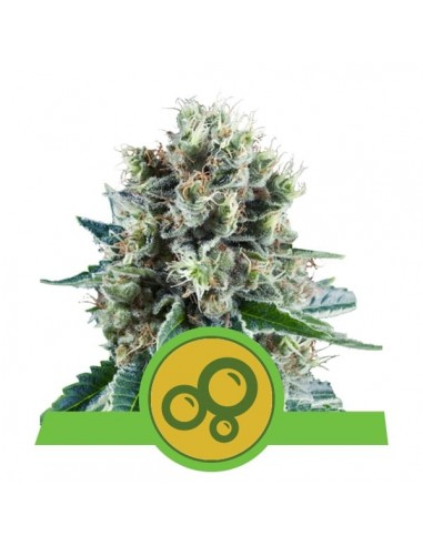 Royal Queen Seeds - Bubble Kush Automatic - 5 Semi