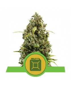 Royal Queen Seeds - Diesel Automatic - 3 Semi