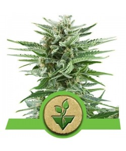 Royal Queen Seeds - Easy Bud Automatic - 3 Semi
