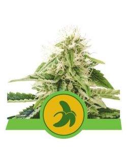 Royal Queen Seeds - Fat Banana Automatic - Usa Premium - 10 Semi