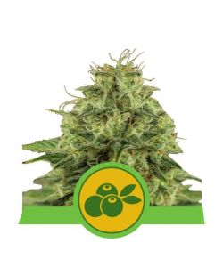 Royal Queen Seeds - Haze Berry Automatic - 5 Semi