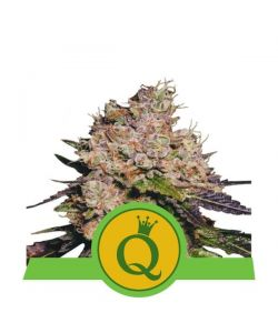 Royal Queen Seeds - Purple Queen Automatic - 5 Semi