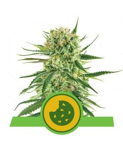 Royal Queen Seeds - Royal Cookies Automatic - Usa Premium - 5 Semi
