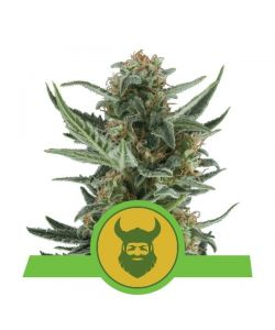 Royal Queen Seeds - Royal Dwarf Automatic - 3 Semi