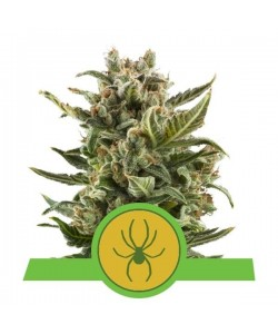Royal Queen Seeds - White Widow Automatic - 5 Semi