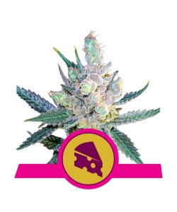 Royal Queen Seeds - Royal Cheese Femminizzata - Fast Flowering - 3 Semi