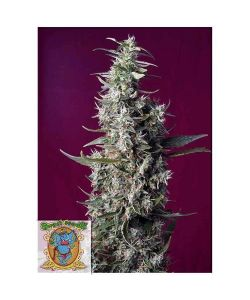 Sweet Seeds - Sweet Cherry Pie - 5 Semi + 2 Gratis