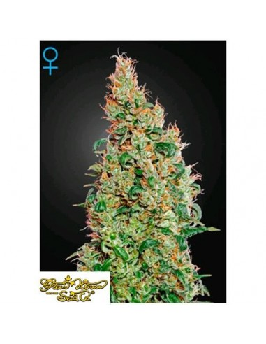 Green House Seeds - Holy Punch - 1 Seme Femminizzato