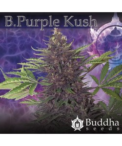 Buddha Seeds - Purple Kush Auto