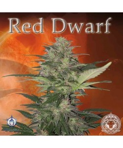 Buddha Seeds - Red Dwarf Auto