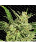 Paradise Seeds - Auto Collection Pack 2
