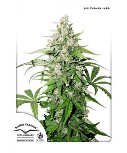 DUTCH PASSION - AUTO CINDERELLA JACK - 7 SEMI