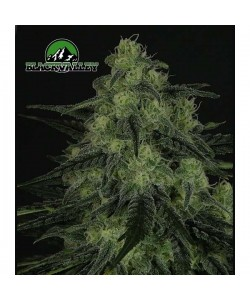 RIPPER SEEDS - BLACK VALLEY - 1 SEME FEM