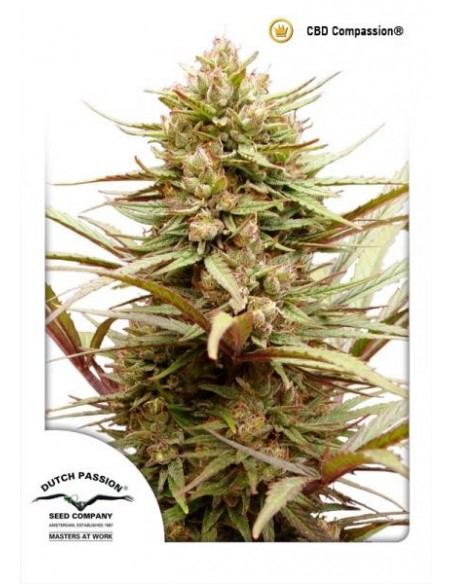 DUTCH PASSION - CBD COMPASSION FEMMINIZZATA - 3 SEMI