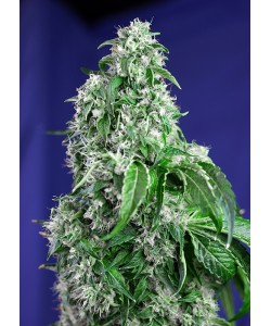 SWEET SEEDS - BIG DEVIL FAST VERSION - 3 SEMI + 1 - FV
