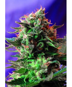 SWEET SEEDS - JACK 47 FAST VERSION - 5 SEMI + 2 OMAGGIO - FV