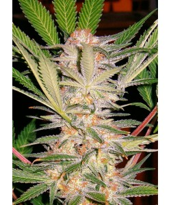 SWEET SEEDS - S.A.D. SWEET AFGANI DELICIUS FAST VERSION - 3 SEMI + 1 OMAGGIO - FV