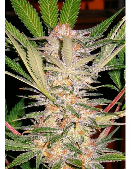 SWEET SEEDS - S.A.D. SWEET AFGANI DELICIUS FAST VERSION - 5 SEMI + 2 OMAGGIO - FV