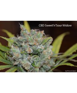 CBD Crew - Cbd Sweet and Sour Widow - 5 Semi REGOLARI