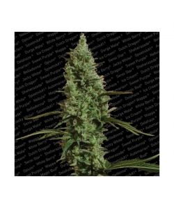 Paradise Seeds - Atomical Haze - 5 Semi Femminizzati