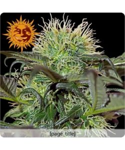 Barney's Farm - Bad Azz Kush - 10 Semi Femm