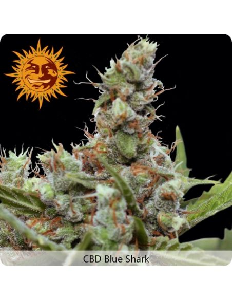 Barney's Farm - CBD Blue Shark - 3 Semi Femm