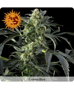 "Barney's Farm - Crimea Blue - 5 Semi Femm ""Cannabis Cup 2007"""
