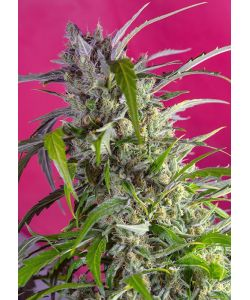 Sweet Seeds - Crystal Candy Auto - 5 Semi + 2 Gratis