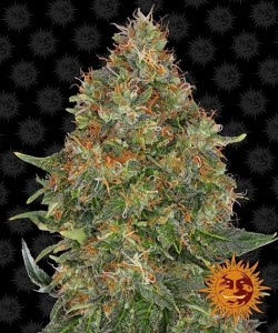 Barney's Farm - Pineapple Express - 3 Semi