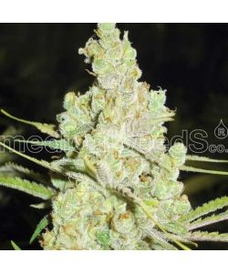 Medical Seeds - 1024 Femminizzata - 5 Semi
